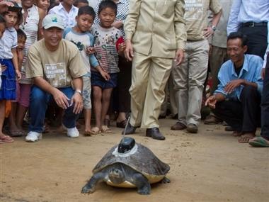 Seltene Schildkröte in Kambodscha ausgewildert
