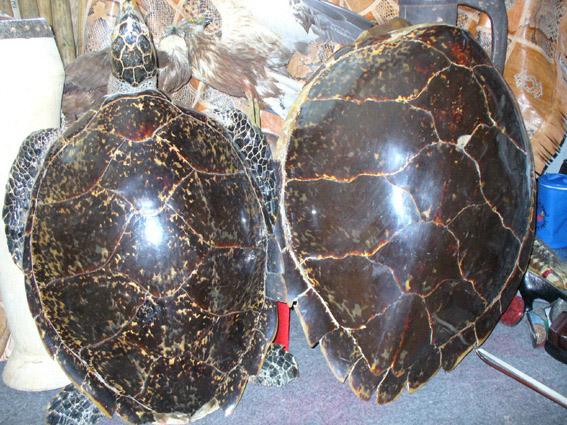 Schildkröten-Schmuggel / Bilder aus dem Münchner Zoll-Archiv