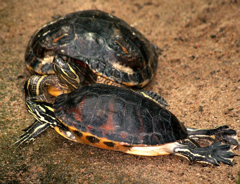 landskildpadde pasning