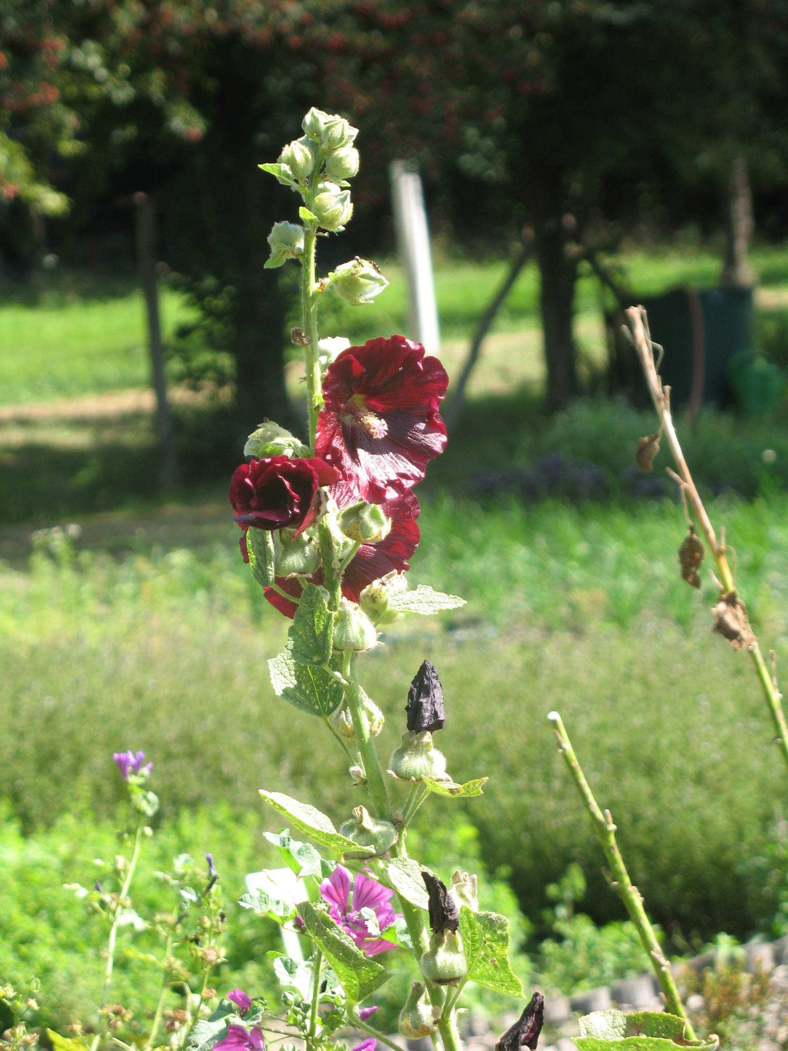 Besondere Gehegepflanzen (8) - Malvengewächse (Teil 1)