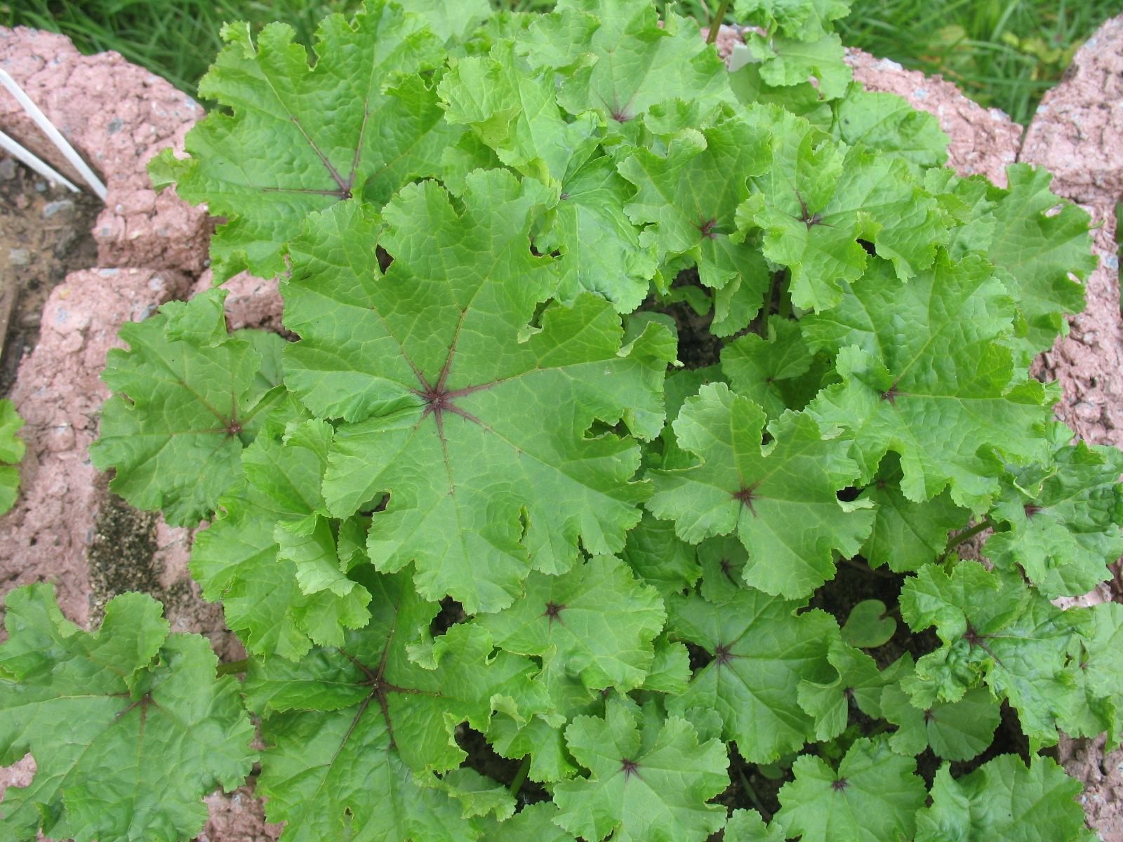 Besondere Gehegepflanzen (9) – Weniger bekannte Vertreter der Familie der Malvengewächse, Malvaceae, Teil II / von Ricarda Schramm