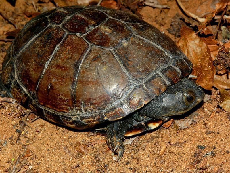 Unnötig geschützt? Schildkrötenart auf den Seychellen