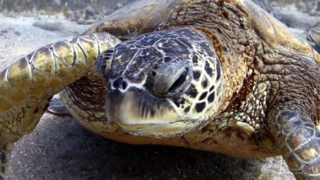 Mittelmeer-Müll tötet Wasserschildkröten vor Mallorca
