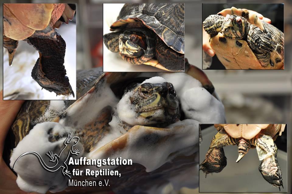 Diese Schmuckschildkröte braucht ihre Hilfe!
