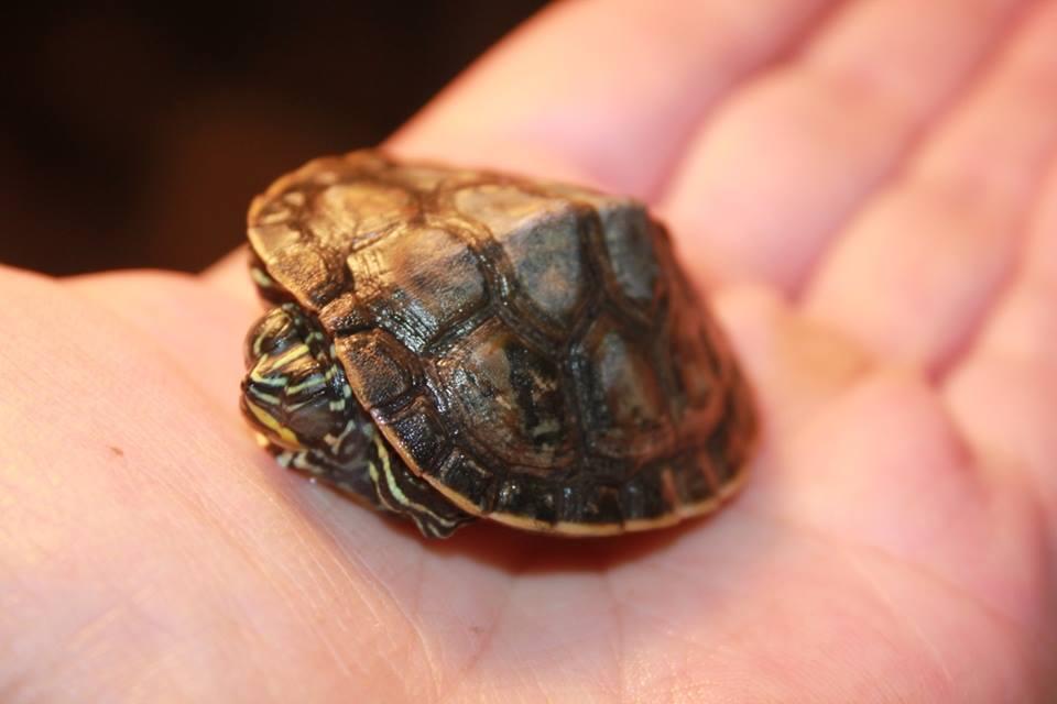 Ann-Kathrin - Schicksal einer Schildkröte