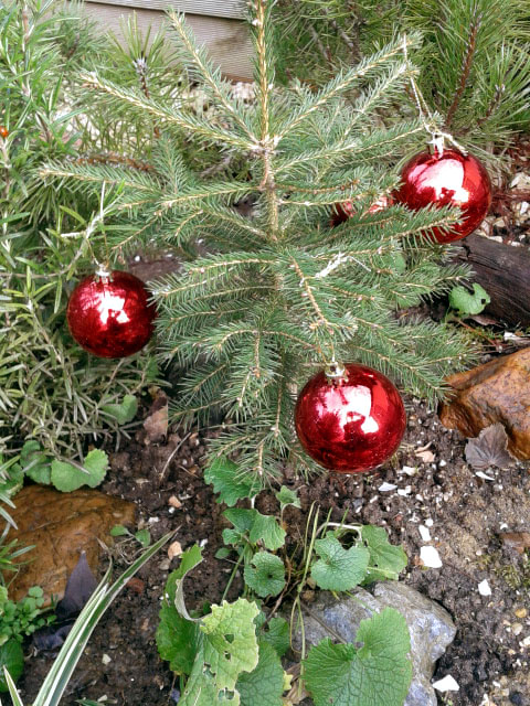 Besondere Gehegepflanzen (18): Weihnachtsbaum