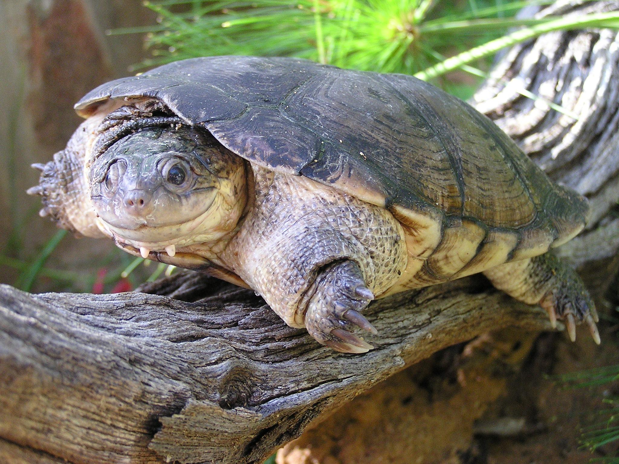 Afrikanische Schildkröte: Bedrohter, als gedacht