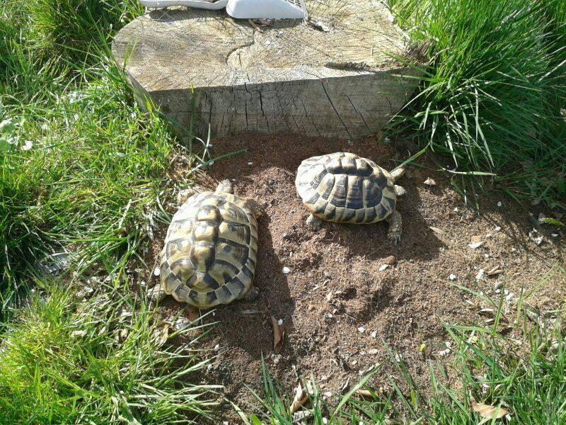 Lithophagie (aktives Fressen von Steinen) bei Landschildkröten – Ein Fall aus der tierärztlichen Praxis