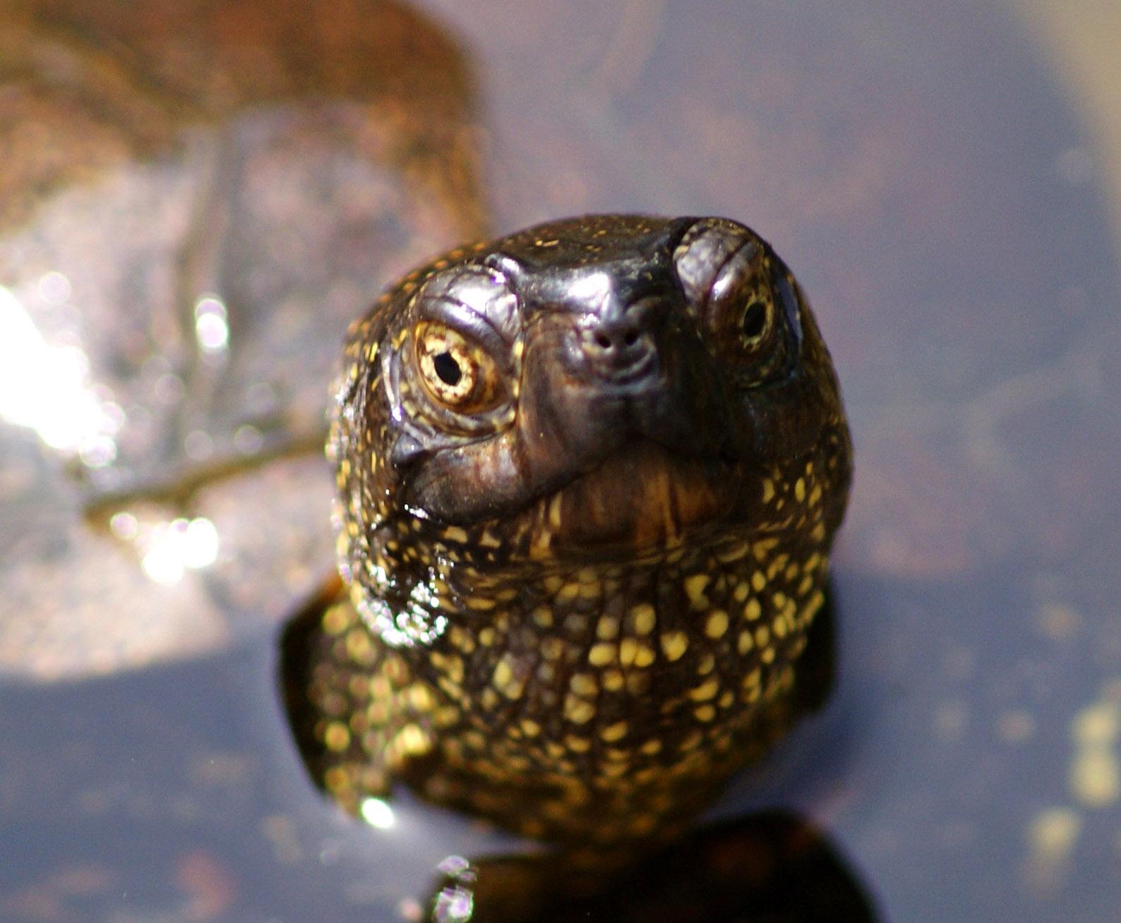 Die Europäische Sumpfschildkröte ist Reptil des Jahres 2015
