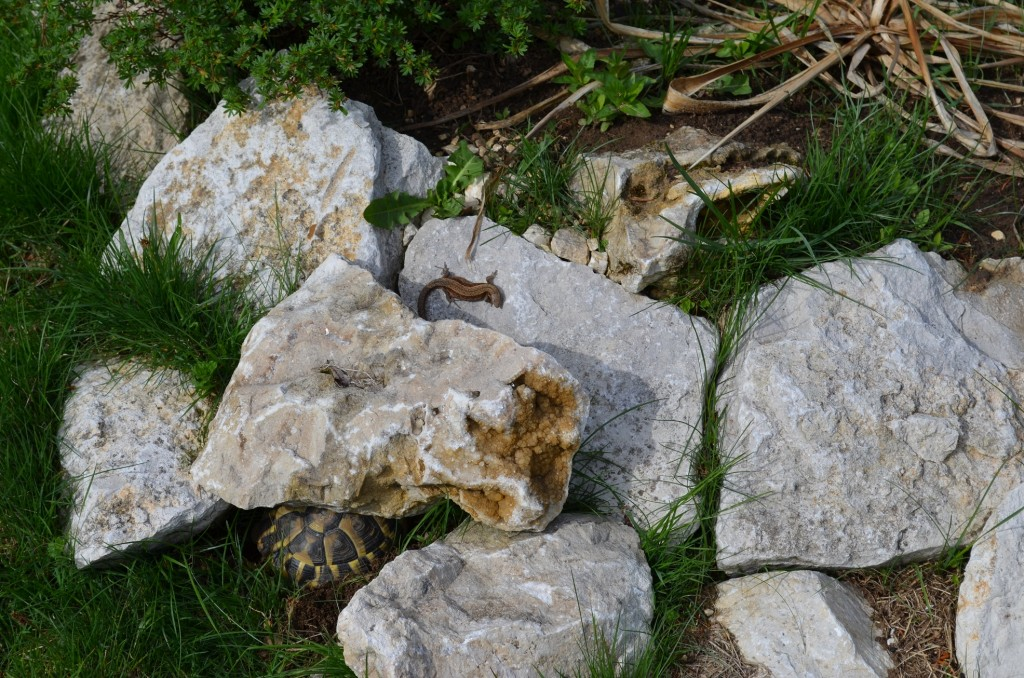 Abb. 18 ...und in diesem Biotop fühlt sich auch ein anderes Reptil sehr wohl, eine Waldeidechse. Hatten Sie sie auf Abb. 17 entdeckt?