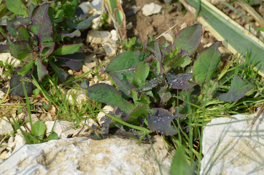 Abb. 6 Futterpflanzen im Kalkschotter...