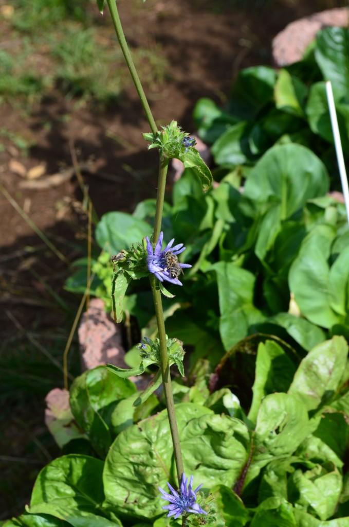 Grumolo-Blüte ähnlich wie die Wegwarte