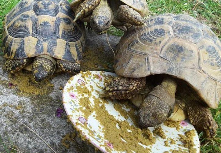Ein natürliches Entwurmungsmittel für Schildkröten?