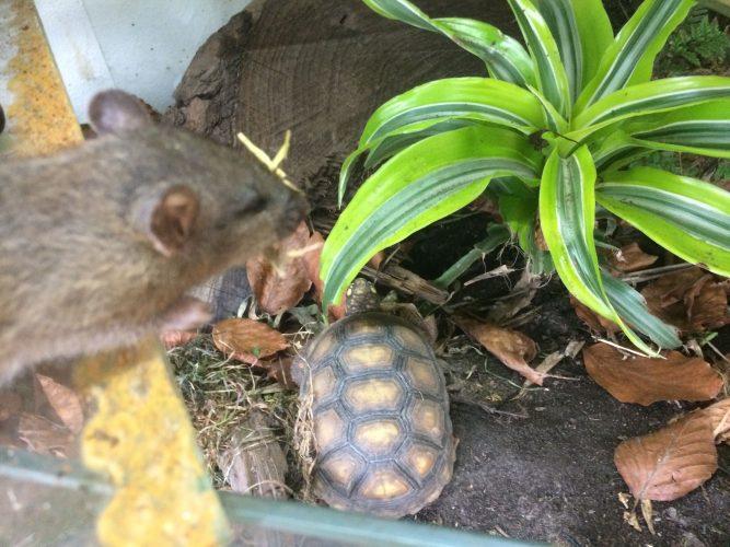 Schädlinge im Schildkrötenhaus - Ralf Czybulinski im Kampf gegen Ratten