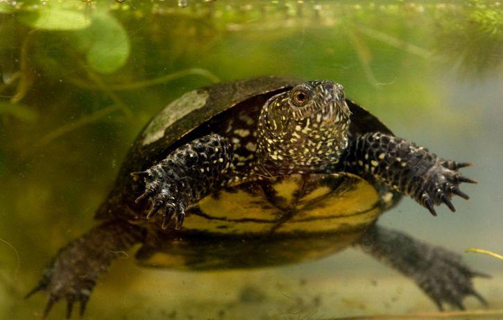 Zurück zur Natur: Schildkrötenbabys in Brandenburg ausgewildert