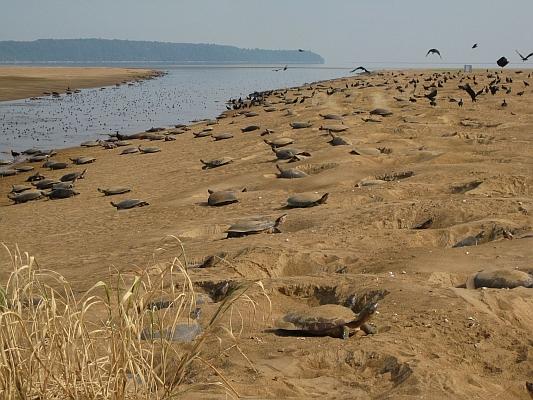 Brasilien - Subsistenzjagd auf Schildkröten verboten, Nachzucht nur für Restaurants