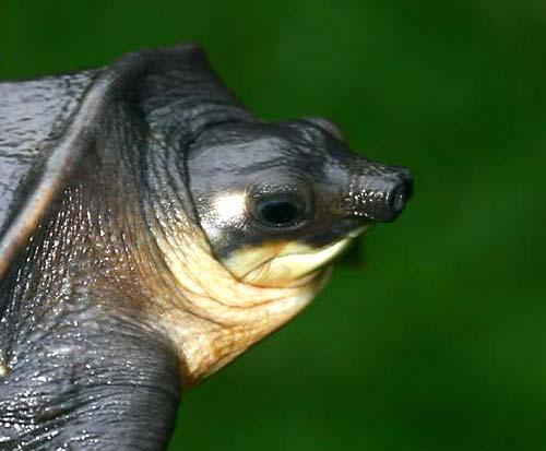Schmuggel von fast 1.500 Weichschildkröten aufgeflogen