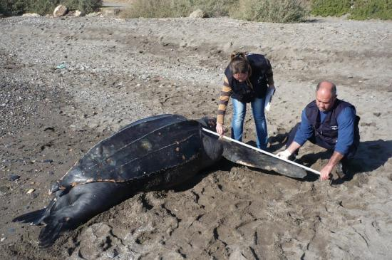 Tote Lederschildkröte an der Costa del Sol angespült