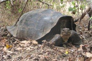Neue Chance für ausgestorbene Schildkröten