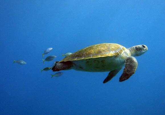 Auswilderung von Meeresschildkröten