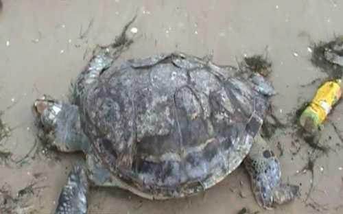 Zwei Meldungen zu angeschwemmten Schildkröten: