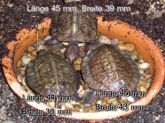 Unverhofft kommt oft - überraschender Zuchterfolg von Prachterdschildkröten