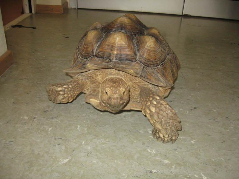 Exotische Schildkröte machte sich auf die Heimreise nach Afrika