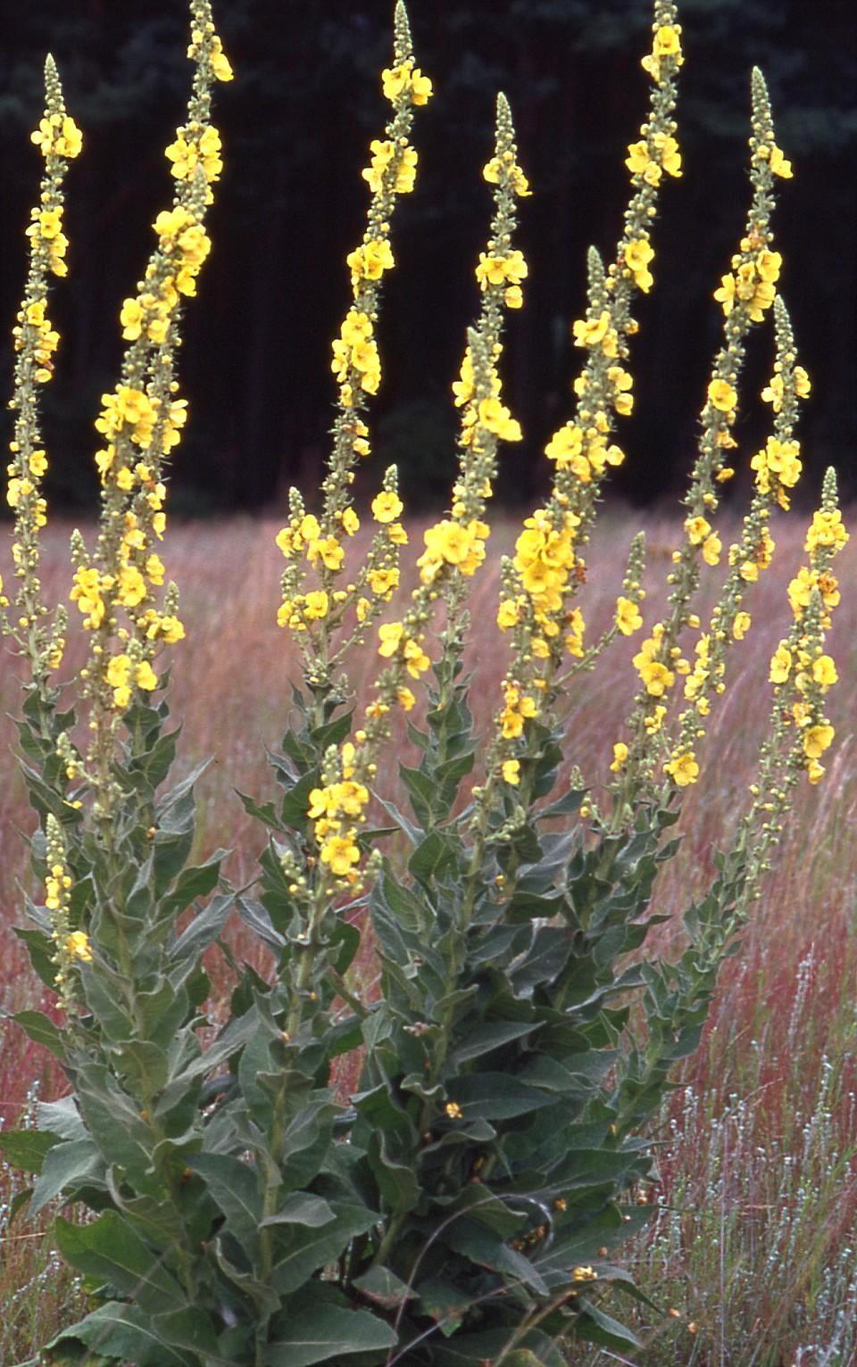 Besondere Gehegepflanzen (6) - Königskerzen