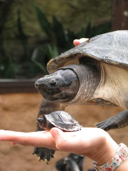 Großer Zuchterfolg bei den Borneo-Flussschildkröten
