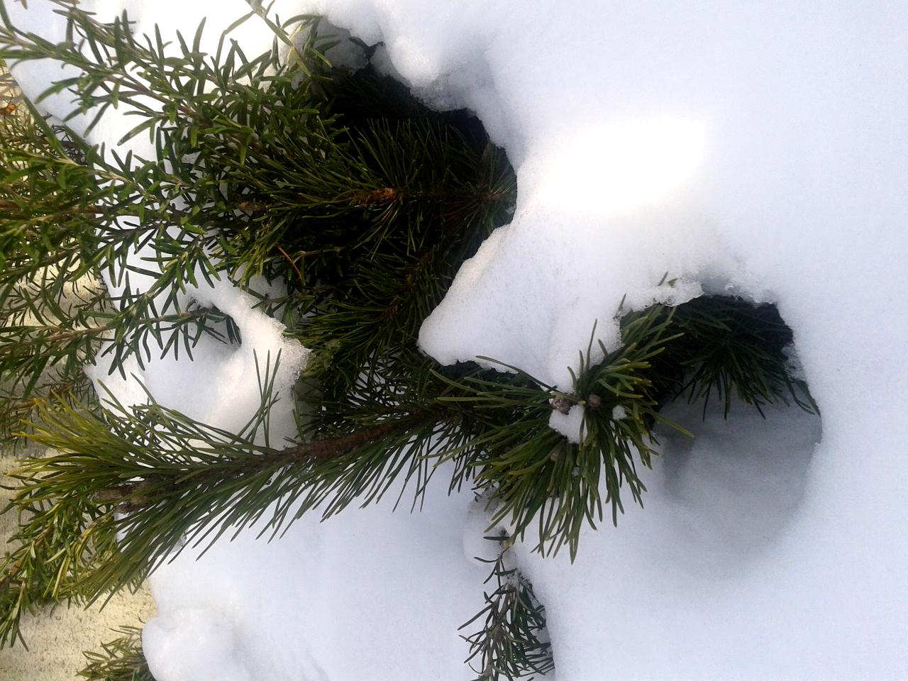 Besondere Gehegepflanzen (11) – Zwerg- und Krüppelkiefern
