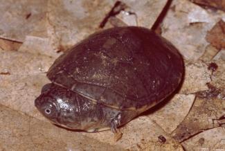 Eine ausgestorbene Schildkröte weniger- Schildkrötenart auf den Seychellen hat niemals existiert
