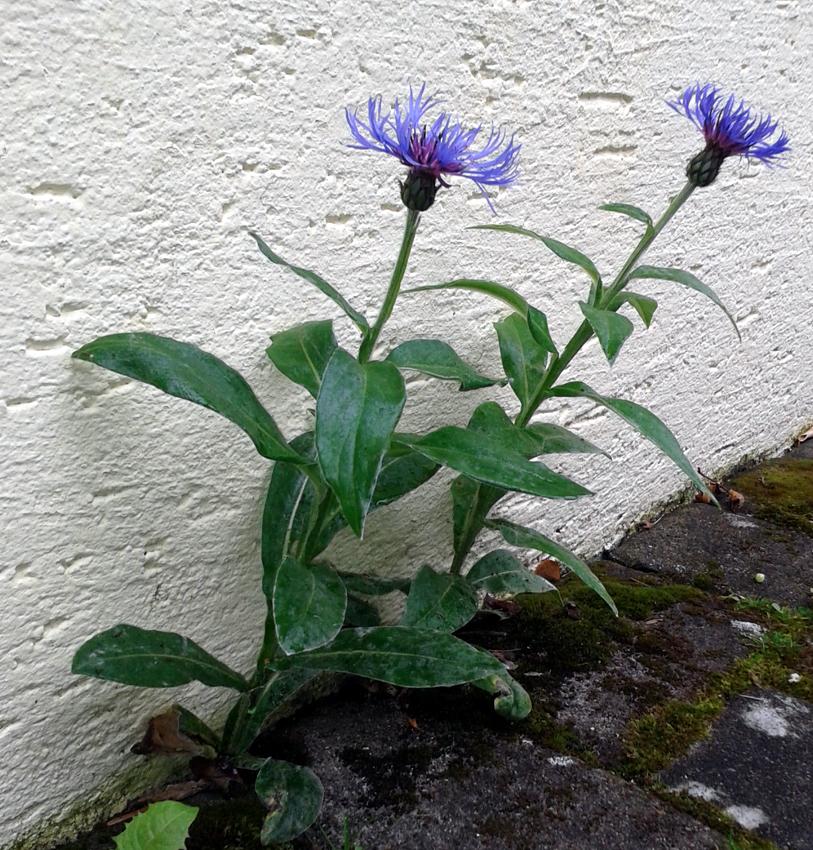 Besondere Gehegepflanzen (13) – Bergflockenblumen