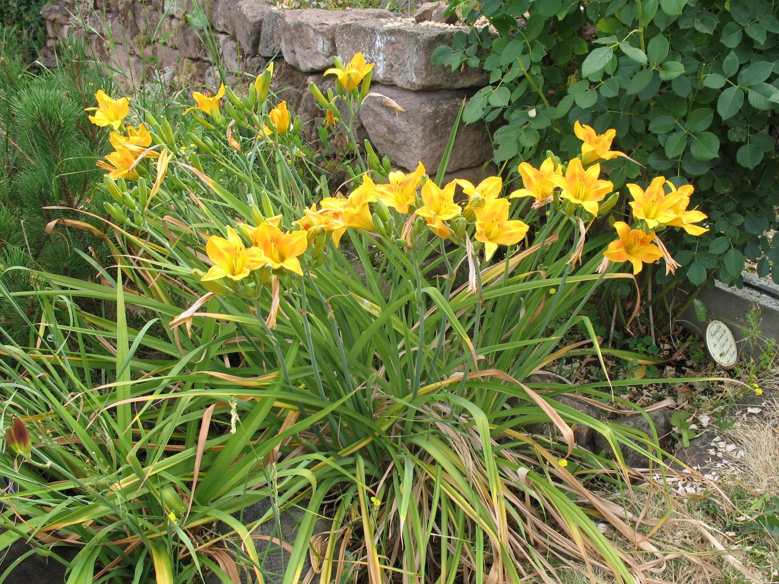 Besondere Gehegepflanzen (14)  -  Taglilien Hemerocallis