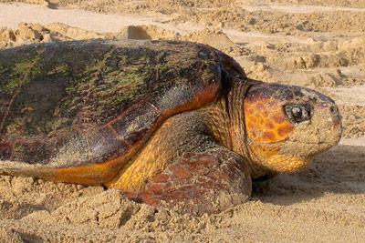 Rätselhafte Ortstreue von Meeresschildkröten aufgeklärt