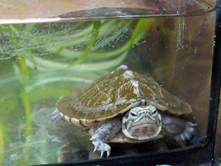 Vierzehn in Münster geschlüpfte Sumpfschildkröten sind auf dem Weg nach Vietnam