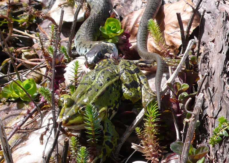 Untermieter im Schildkrötengehege - Ringelnattern (Natrix natrix)