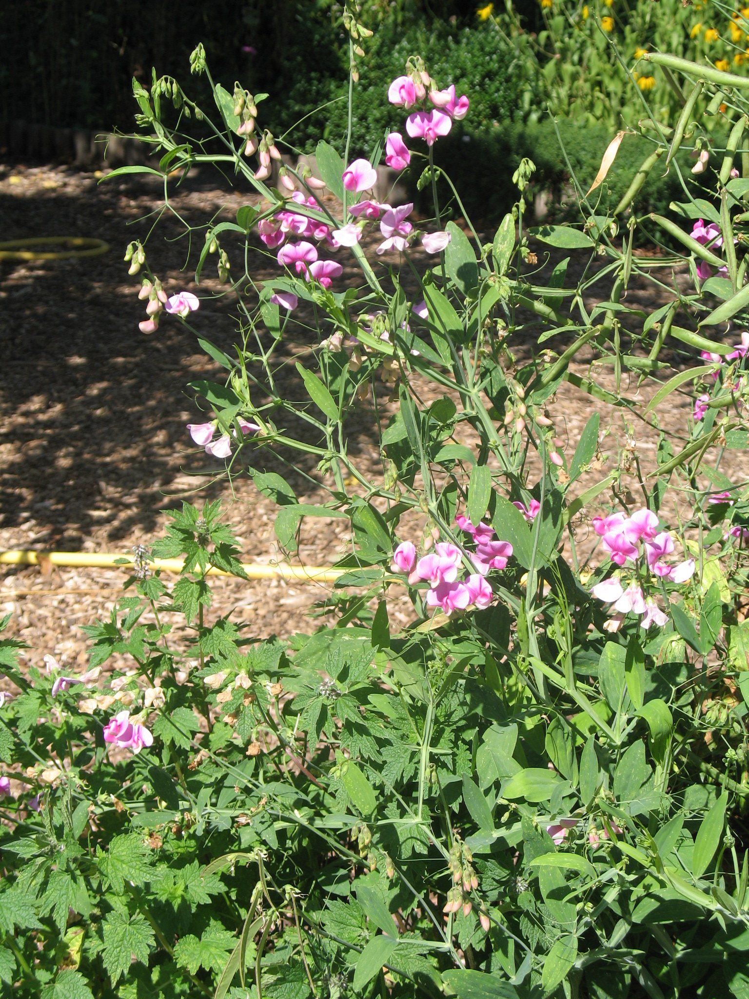Duftwicke - als Futterpflanze geeignet?