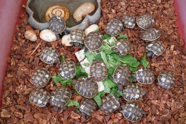 Züchter schadet dem Hobby: Verramschen von Landschildkröten-Nachzuchten