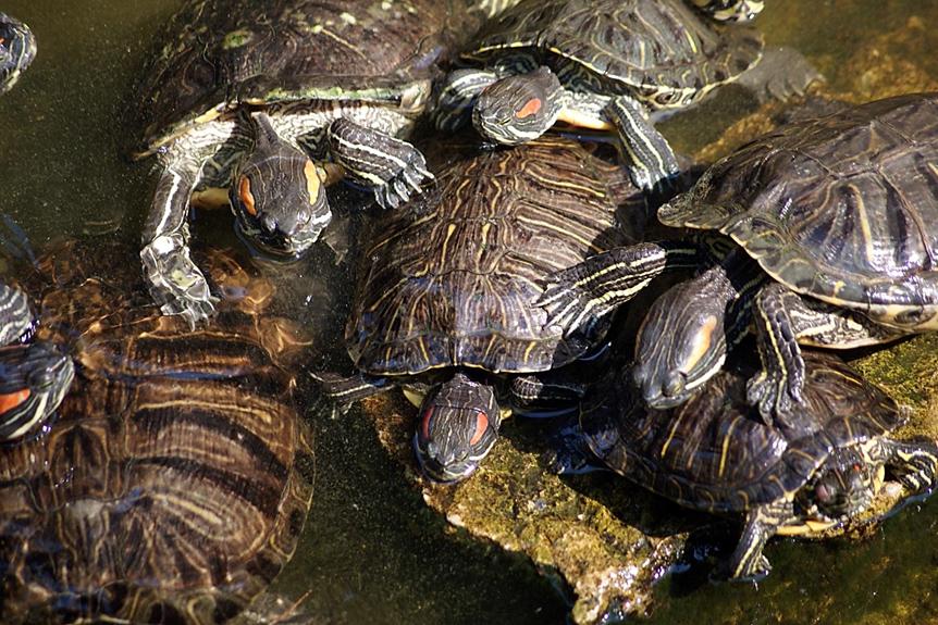 Invasive Rotwangenschmuckschildkröte macht sich breit