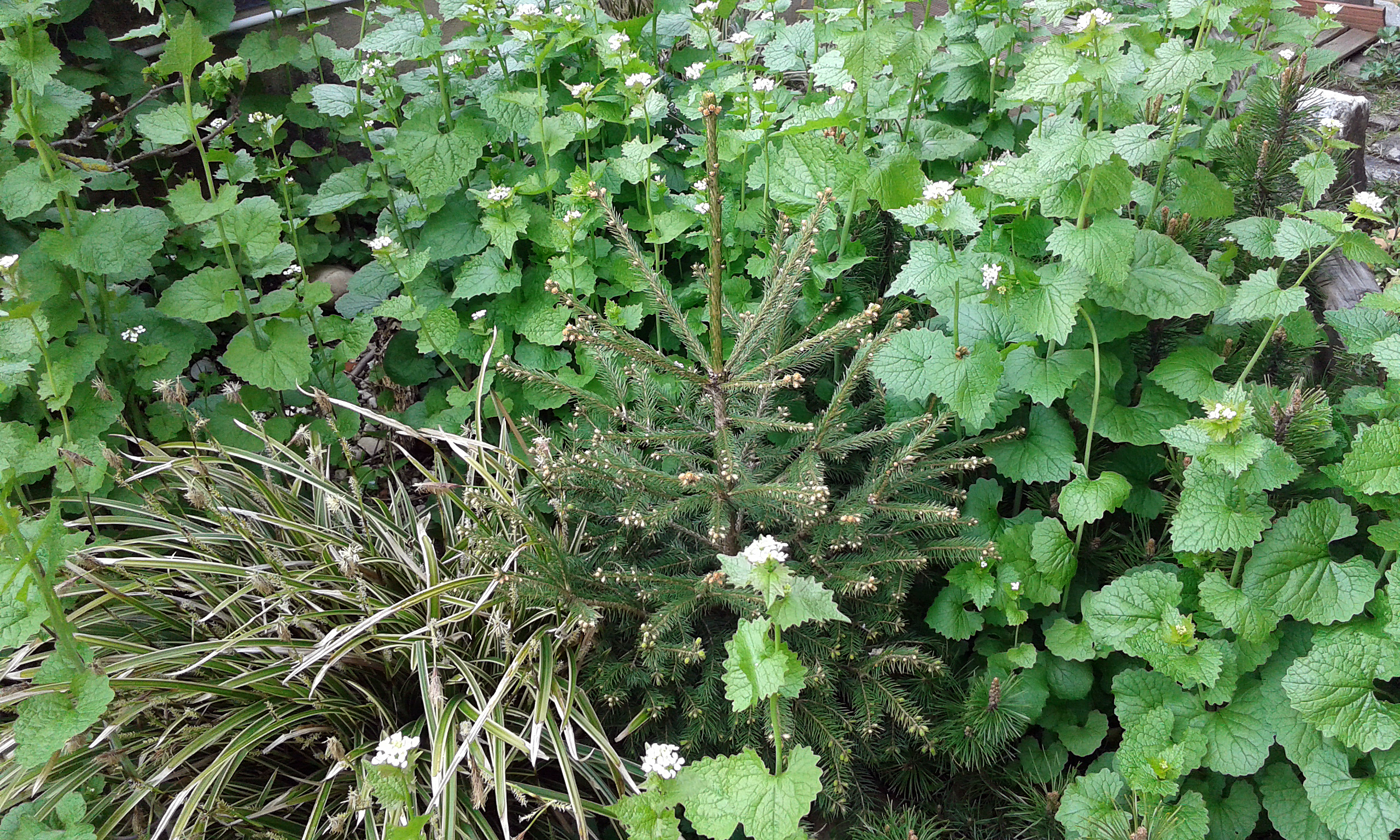 Besondere Gehegepflanzen (19): Knoblauchsrauke