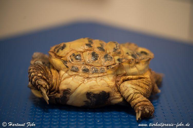 Folgen schwerer Haltungsfehler am Beispiel einer Vierzehenschildkröte (Testudo horsfieldii) aus der Praxis für Alternative Tiermedizin