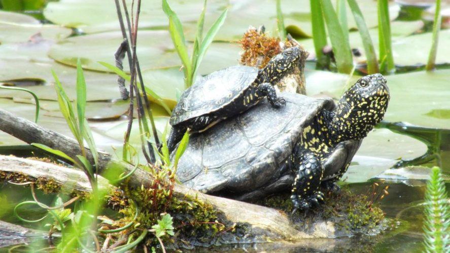 Schlupfzeit = Urlaubszeit, gelegentlich ein Dilemma für Schildkrötenzüchter!