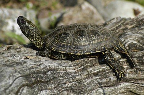 Das Schutzprojekt Europäische Sumpfschildkröten in Brandenburg