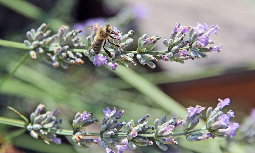 Rettet die Bienen - Mit einer speziellen Saatmischung aktiv werden.