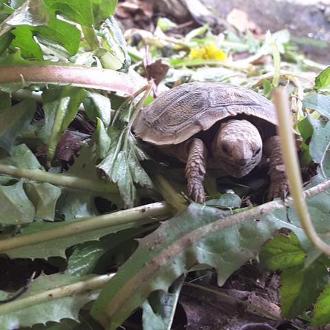 Nachwuchs bei den Spaltenschildkröten