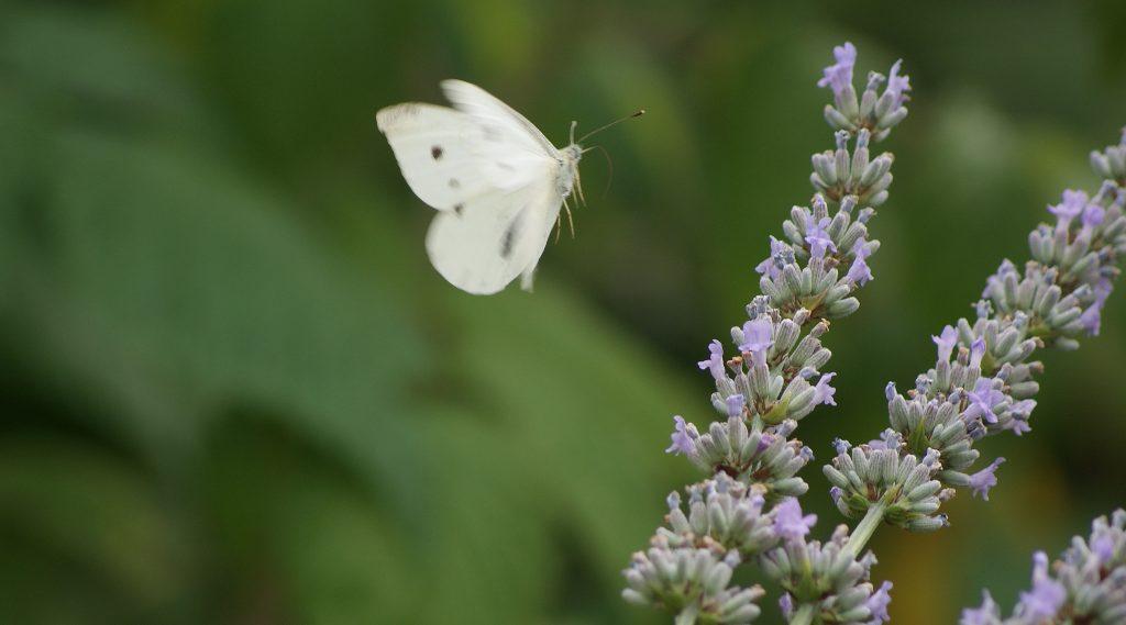 Es summselt - Kohlweißling im Anflug auf Lavendel