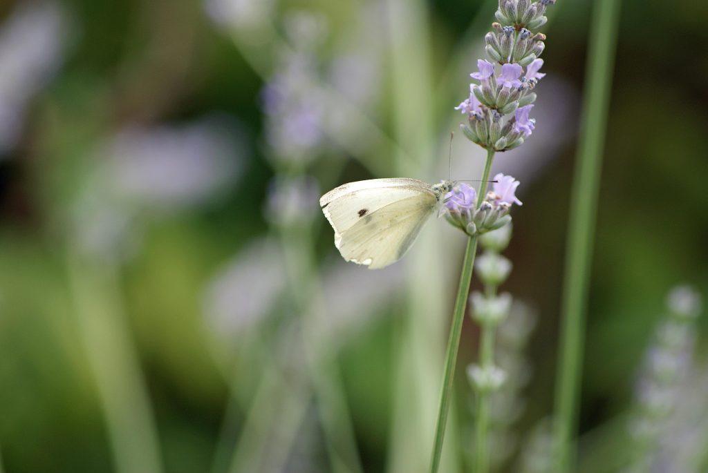 Es summselt - Kohlweißling auf einer Lavendelblüte