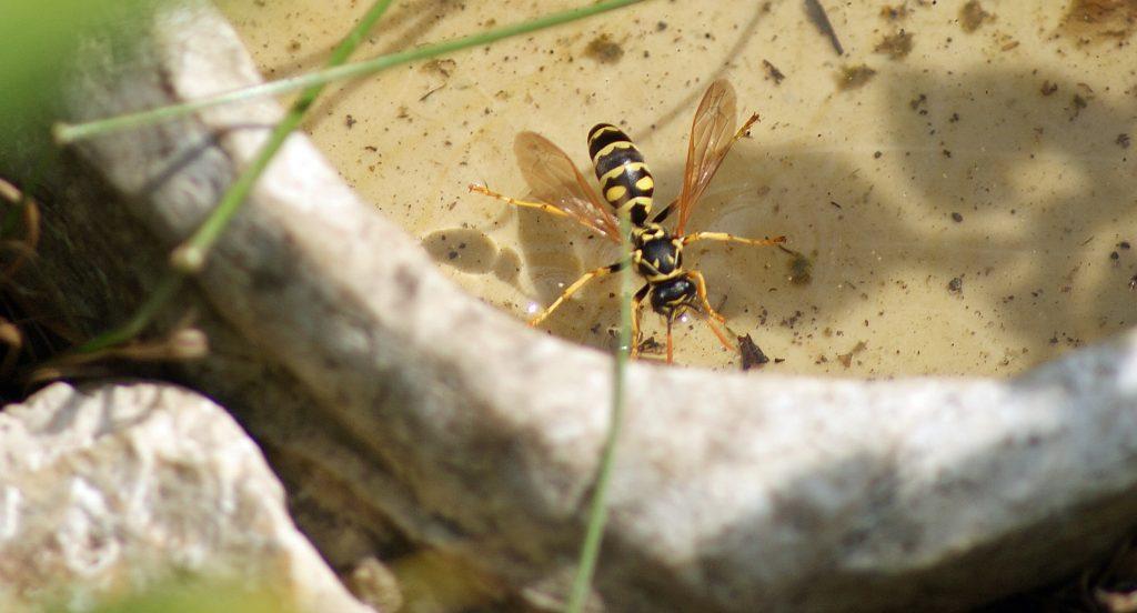 Es summselt - Wasseraufnehemdne Wespe in einer Trinkschale