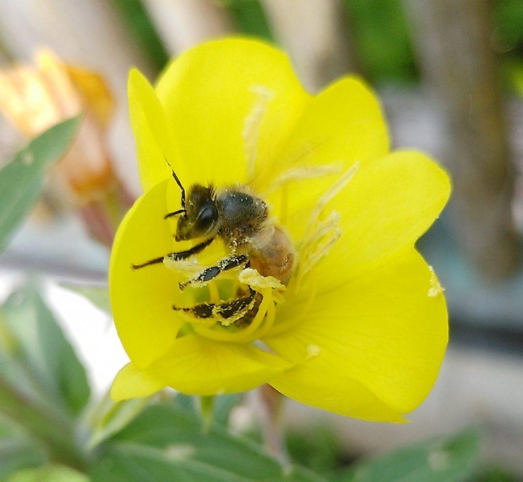 Es summselt - Biene in einer Nachtkerzenblüte
