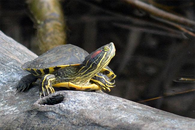 Spanien, ein Paradies für die ungeliebte Rotwangenschmuckschildkröte?